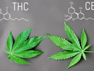 Cannabis: Main differences between THC and CBD